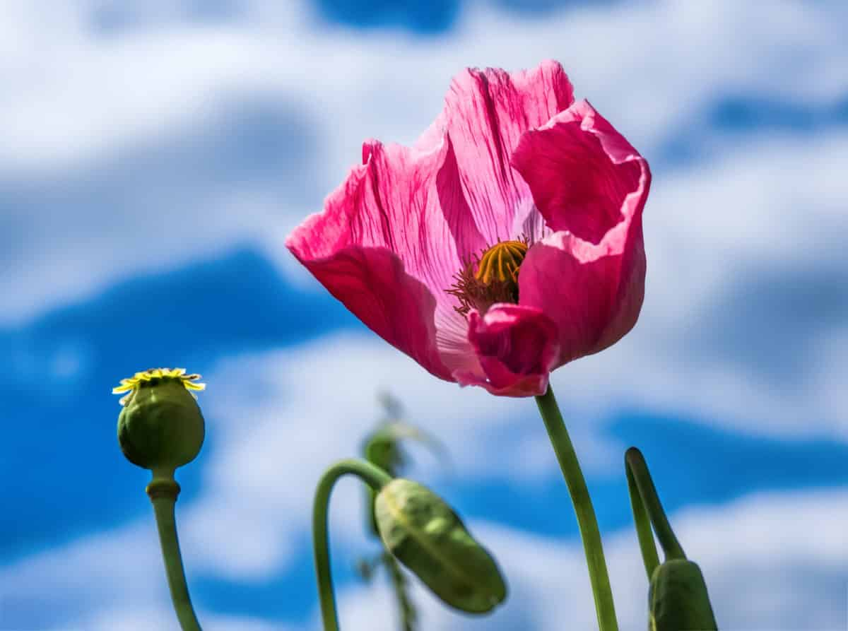 Erfahre mehr über Opium Globuli bei Darmträgheit, Bewusstseinstrübung und Schlaganfall. Fotolia © costadelsol