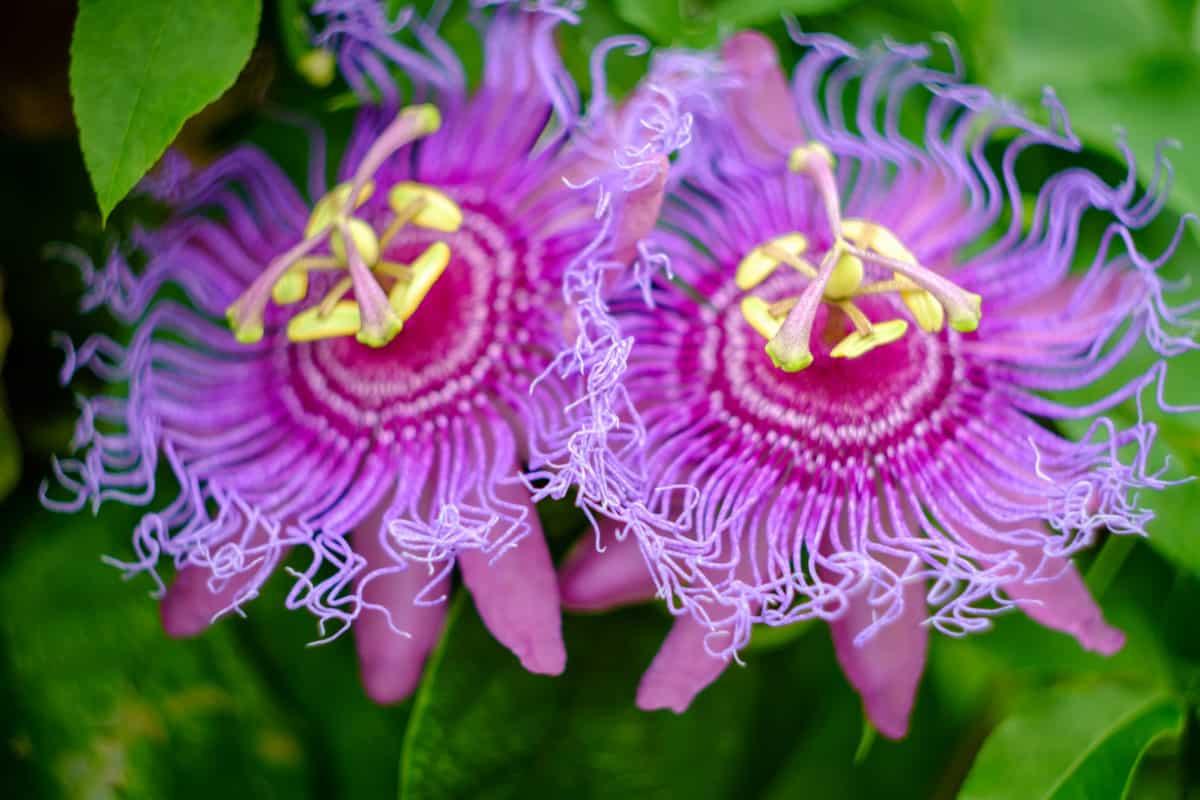 Erfahre mehr über Passiflora incarnata Globuli in der Homöopathie und bei welchen Krankheiten es angewendet wird. Fotolia © Ezume Images