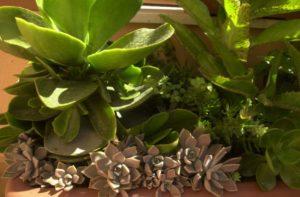 Steinblüte in der Natur. Aus der Pflanze wird das Globuli zur homöopathischen Behandlung hergestellt. Das Globuli Flor de piedra wird in der Homöopathie bei Krankheiten wie Leberprobleme, Migräne und Venenstauungen eingesetzt. Fotolia © Joseph García