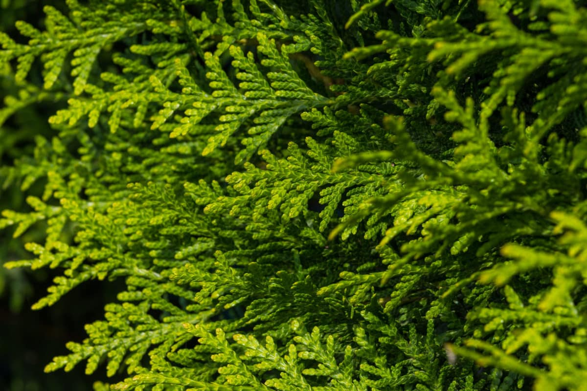 Giftstrauch in der Natur. Aus der Pflanze wird das Globuli zur homöopathischen Behandlung hergestellt. Das Globuli Sabina wird in der Homöopathie bei Krankheiten wie Eierstockentzündungen, Menstruationsbeschwerden und Rheuma eingesetzt. Fotolia © blende11.photo
