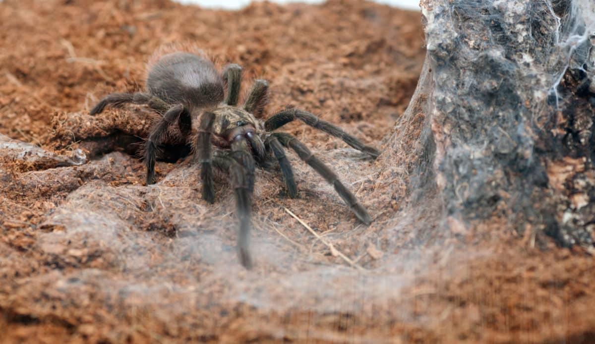 Erfahre mehr über Tarantula cubensis Globuli in der Homöopathie und bei welchen Krankheiten es angewendet wird. Fotolia © Denis Kadatsky