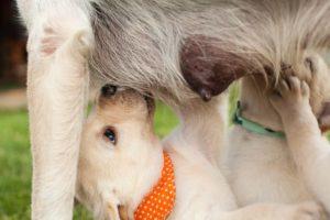 Aus Hundemilch wird das Globuli zur homöopathischen Behandlung hergestellt. Das Globuli Lac caninum wird in der Homöopathie bei Krankheiten wie Ängste, Erkältungen und Menstruationsbeschwerden eingesetzt. Fotolia © Ilike