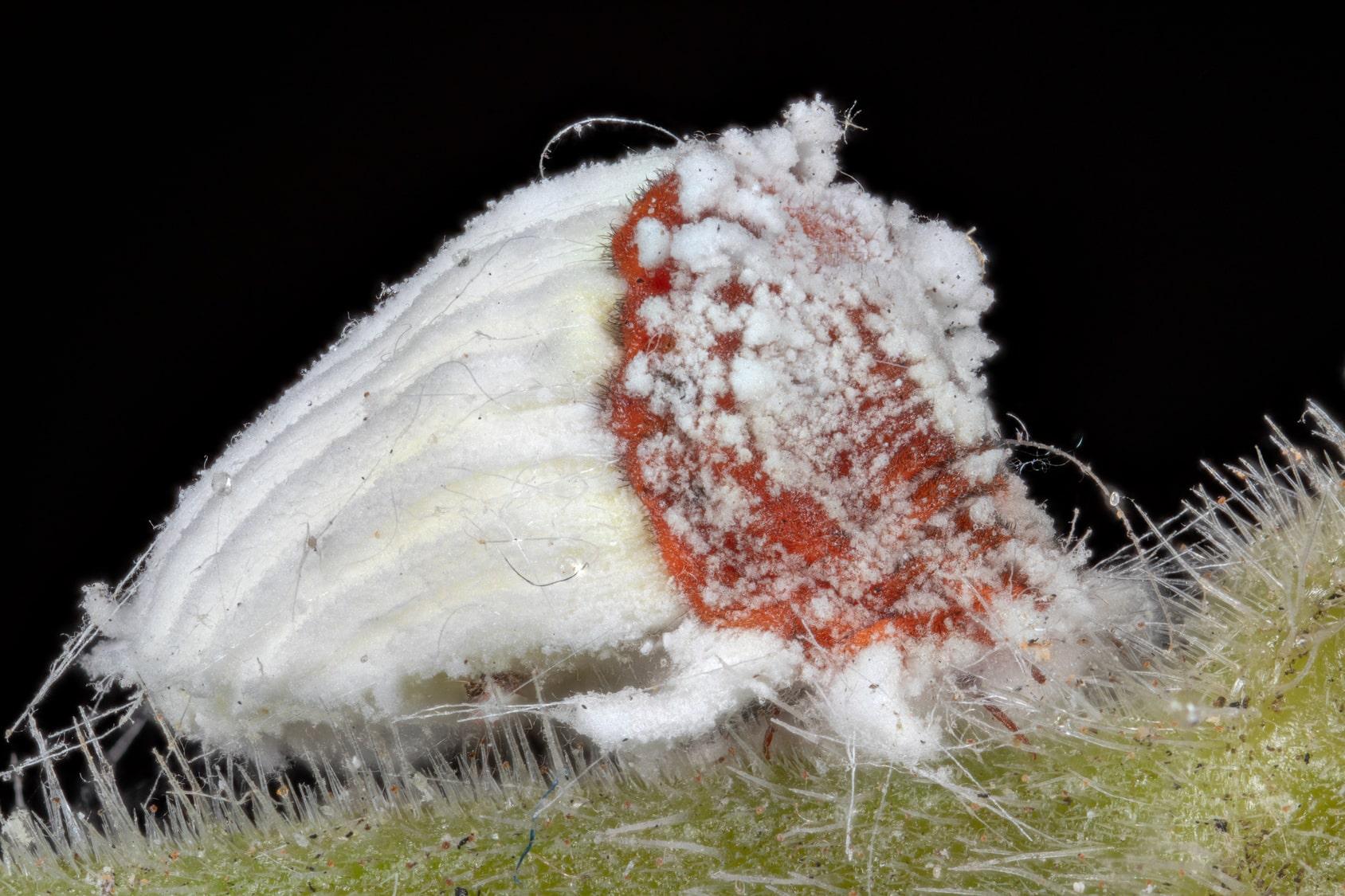 Erfahre mehr über Coccus cacti Globuli in der Homöopathie und bei welchen Krankheiten es angewendet wird. Fotolia © jgd.cannes