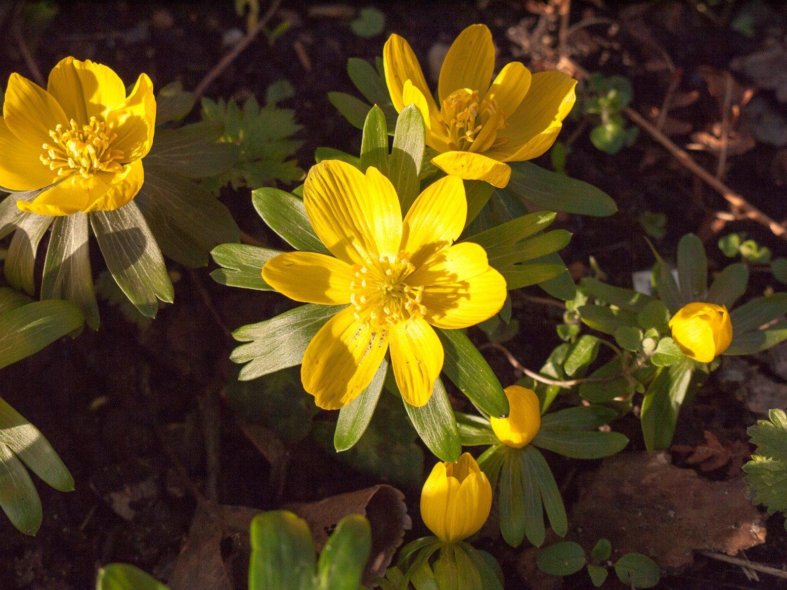 Erfahre mehr über Ranunculus bulbosus Globuli in der Homöopathie und bei welchen Krankheiten es angewendet wird. Fotolia © Callum