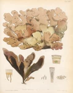 Lungenmoos Pflanze in der Natur. Aus der Pflanze wird das Globuli zur homöopathischen Behandlung hergestellt. Das Globuli wird in der Homöopathie bei Krankheiten wie Arthritis, Grippaler Infekt und Heuschnupfen eingesetzt. Fotolia © ruskpp
