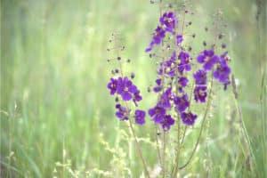 Königskerze Pflanze in der Natur. Aus der Pflanze wird das Globuli zur homöopathischen Behandlung hergestellt. Das Globuli wird in der Homöopathie bei Krankheiten wie Husten, Ohrenschmerzen und Zahnschmerzen eingesetzt. Fotolia © MEISTERFOTO