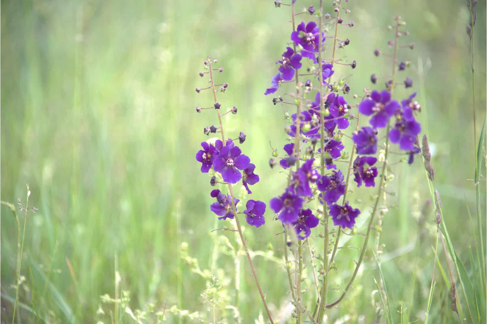 Erfahre mehr über Verbascum Globuli in der Homöopathie und bei welchen Krankheiten es angewendet wird. Fotolia © MEISTERFOTO