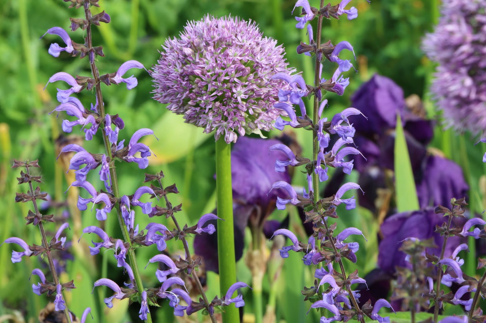 Salvia officinalis Globuli in der Homöopathie