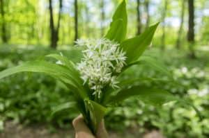Bärlauch Pflanze in der Natur. Aus der Pflanze wird das Globuli zur homöopathischen Behandlung hergestellt. Das Globuli wird in der Homöopathie bei Krankheiten wie Durchblutungsstörungen, Hautausschläge und Verdauungsbeschwerden eingesetzt. Fotolia © Iva