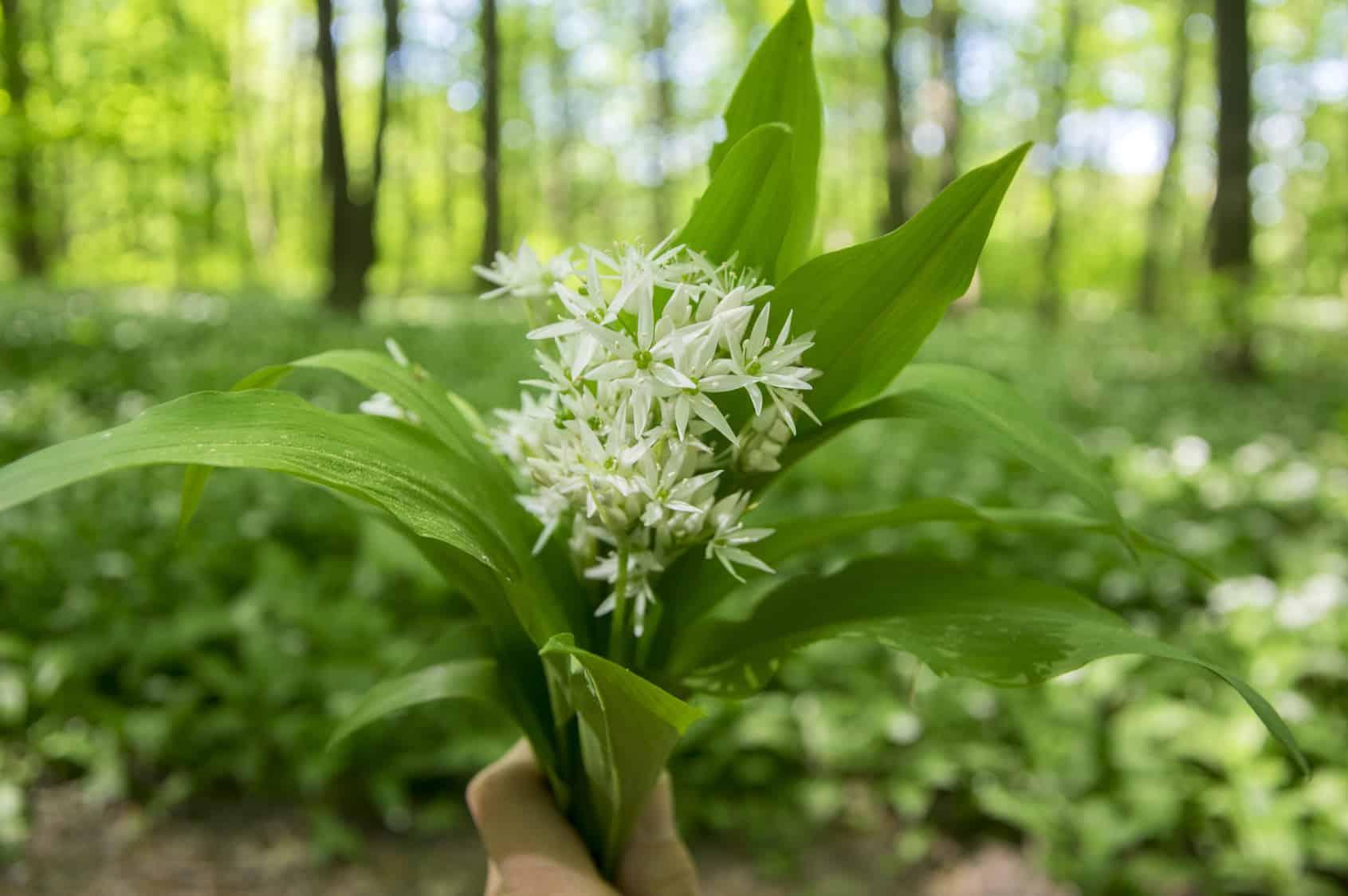 Erfahre mehr über Allium ursinum Globuli in der Homöopathie und bei welchen Krankheiten es angewendet wird. Fotolia © Iva
