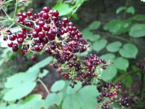 Amerikanische Narde Pflanze in der Natur. Aus der Pflanze wird das Globuli zur homöopathischen Behandlung hergestellt. Das Globuli wird in der Homöopathie bei Krankheiten wie Halsentzündung, Husten und Schnupfen eingesetzt. © wikipedia