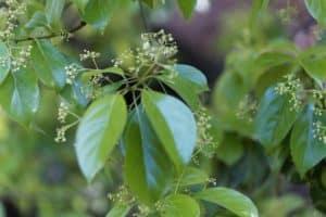 Kampfer Pflanze in der Natur. Aus der Pflanze wird das Globuli zur homöopathischen Behandlung hergestellt. Das Globuli wird in der Homöopathie bei Krankheiten wie Kreislaufbeschwerden eingesetzt. Fotolia © ChrWeiss