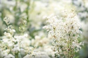 Wiesenkönigin Pflanze in der Natur. Aus der Pflanze wird das Globuli zur homöopathischen Behandlung hergestellt. Das Globuli wird in der Homöopathie bei Krankheiten wie Rückenbeschwerden, Schwindel und Verdauungsstörungen eingesetzt. Fotolia © adisa