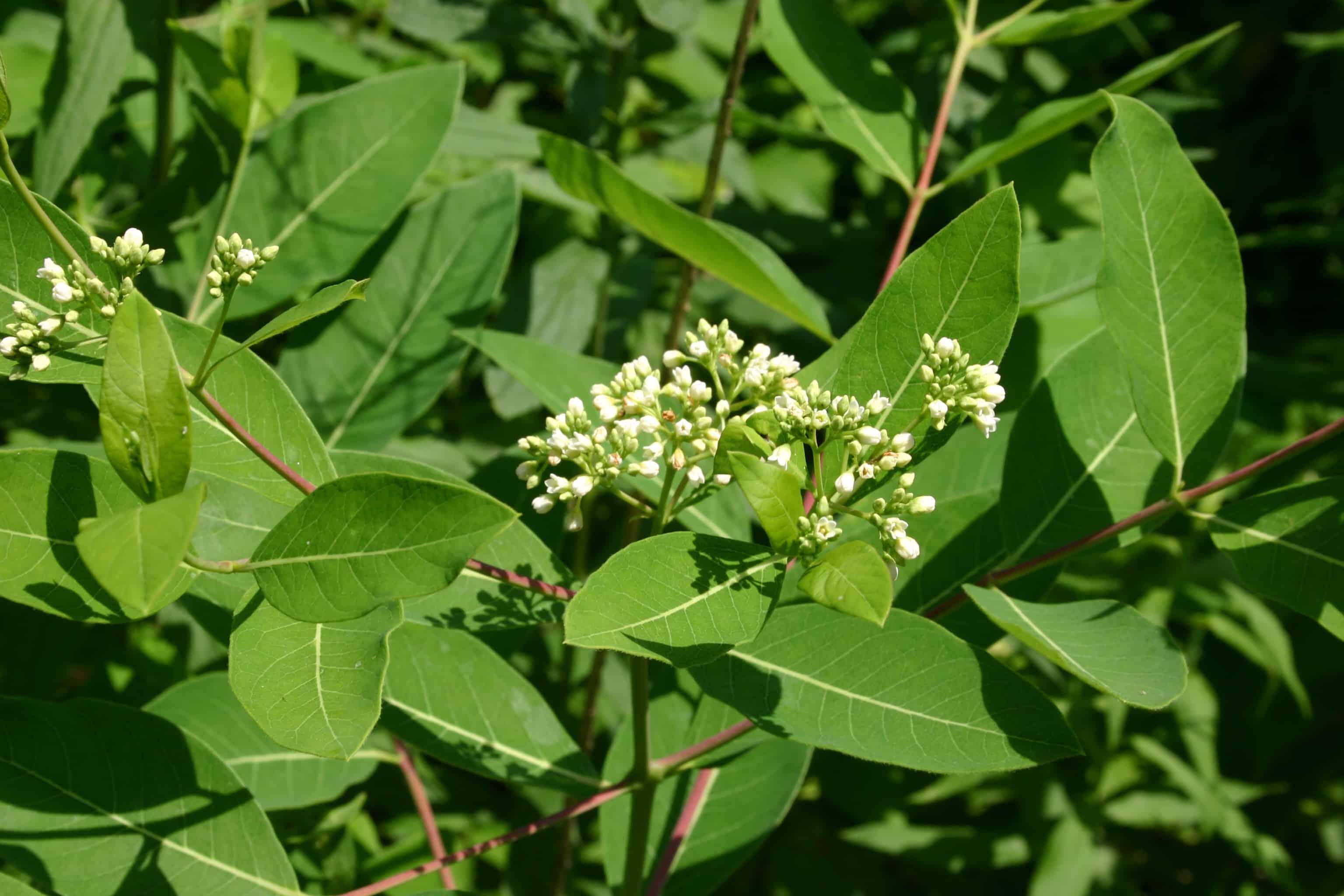 Indianer Hanf (Apocynum cannabinum)