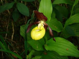 Cypripedium pubescens Globuli in der Homöopathie