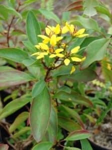 Kleiner Goldregen. Aus der Pflanze wird das Globuli zur homöopathischen Behandlung hergestellt. Das Globuli wird in der Homöopathie bei Krankheiten wie Allergien und Heuschnupfen eingesetzt. © wikipedia